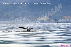 別府湾を悠々と泳ぐザトウクジラ