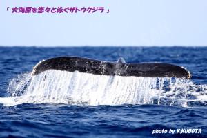 大海原を悠々と泳ぐザトウクジラ