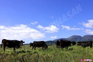 秋の久住高原~豊後牛の放牧~