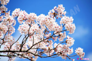 「春の彩り~桜~」