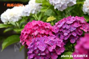梅雨の彩り